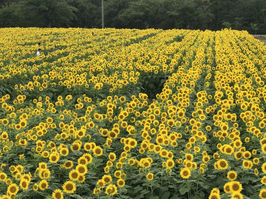 西目のひまわり畑