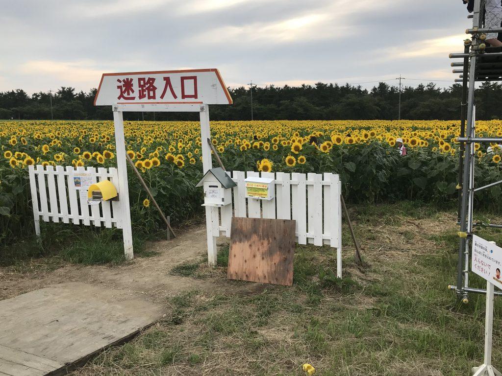 西目のひまわり畑の迷路